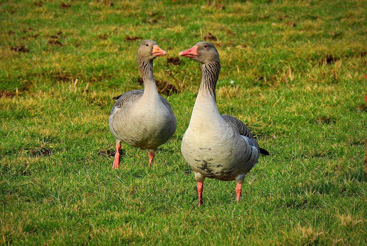 testimonials goose